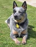 The real Jasper - Peter Heller's Blue Healer